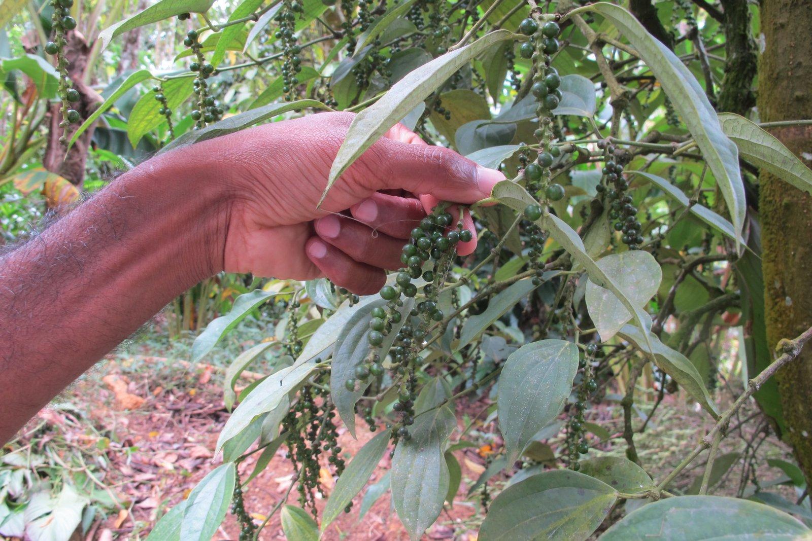 Spice boy kurissupara kerala 6 mois ici et l for Plante 6 mois